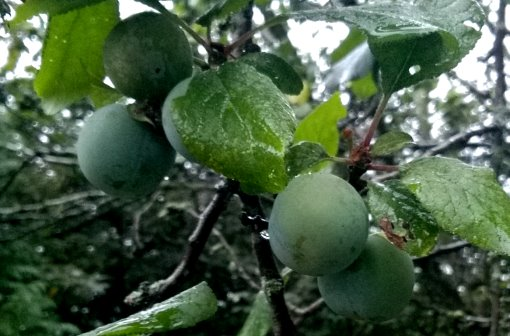 greengages2.jpg