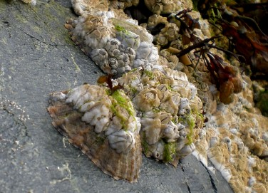 limpets2_1.jpg