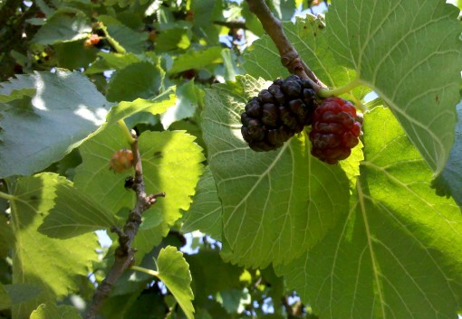 mulberries1.jpg